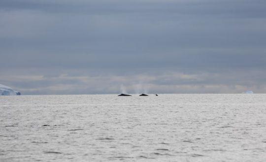 Plusieurs baleines au loin