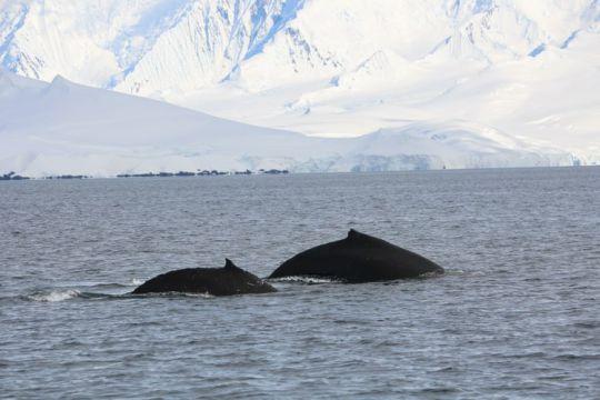 Deux  baleines en chasse et curieuses