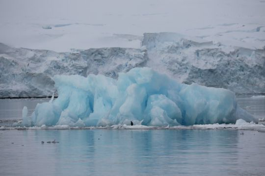 Manchot papou et iceberg