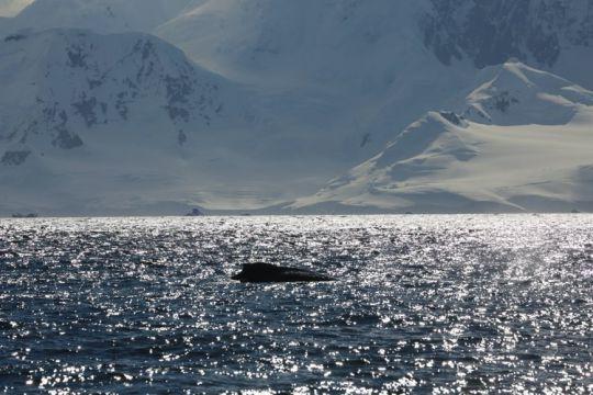 Baleine au large d'Enterprise