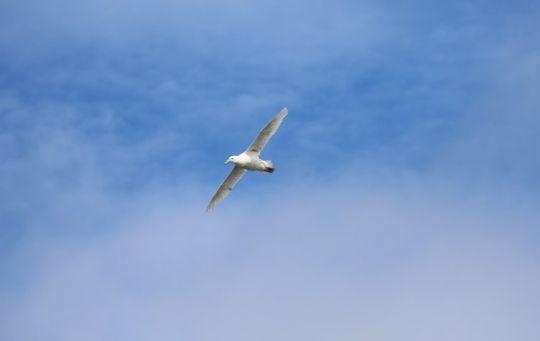 Albatros en vol à Hannah's Point