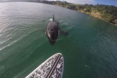 L'orque suit Luke Reilly et son paddle