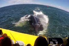 La baleine frôle le semi-rigide où se trouve les touristes