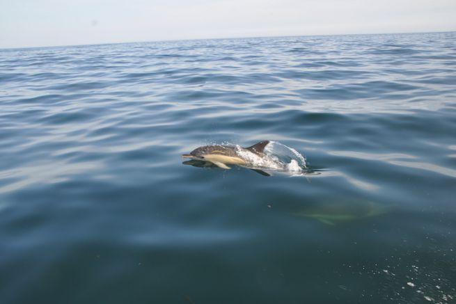 Des dauphins communs au sud des Glénan
