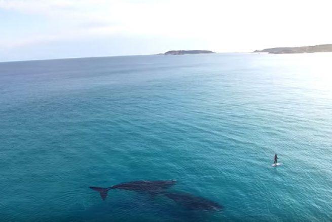 Deux baleines bleues rencontrent un paddle boarder en Australie